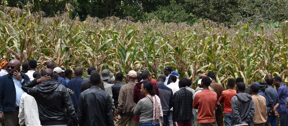 REALISE HwU maize field pic