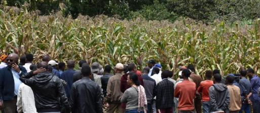 REALISE HwU maize field pic