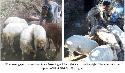 Woldia livestock fattening picture